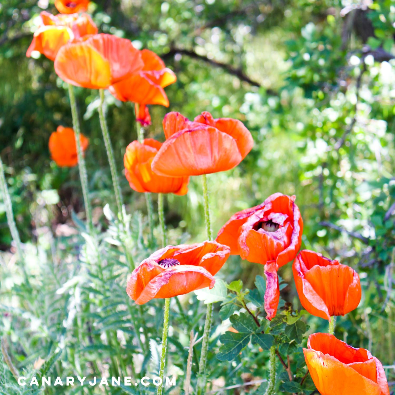 poppy field at lambert park